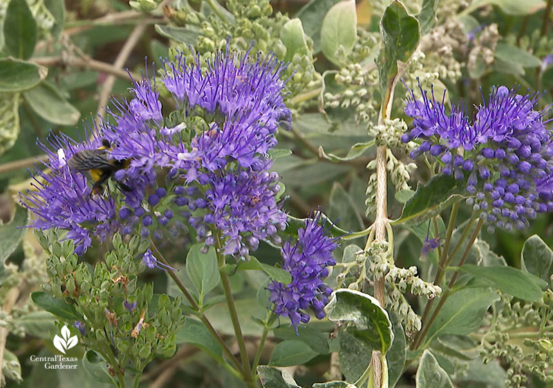 bee on purple Caryopteris (Dark Knight) Doug Green habitat Central Texas Gardener