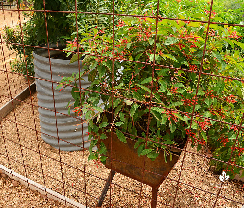 Recycled culvert planter and hand welded metal container for Hamelia patens Doug Green habitat Central Texas Gardener