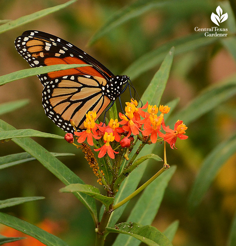 Monarch butterfly tropical milkweed Doug Green habitat garden Central Texas Gardener