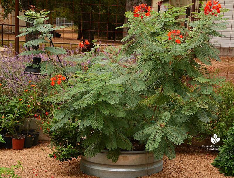 Pride of Barbados stock tank planter Doug Green butterfly habitat Central Texas Gardener