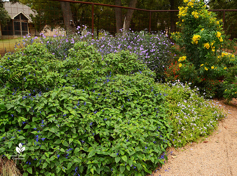 Black & Blue salvia, Gregg's mistflower, ruellia, esperanza Doug Green butterfly habitat Central Texas Gardener