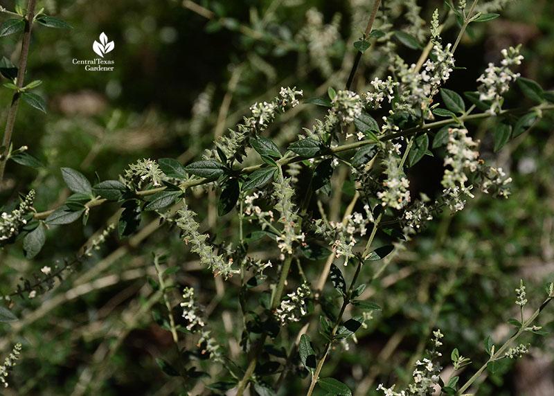 Aloysia gratissima bee-brush Central Texas Gardener
