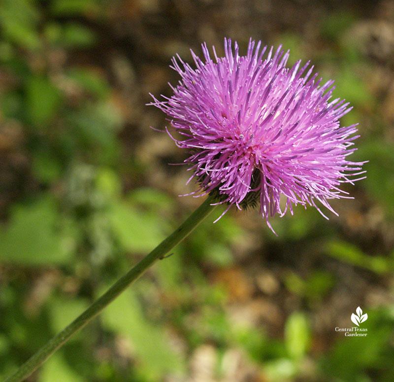 American basket-flower