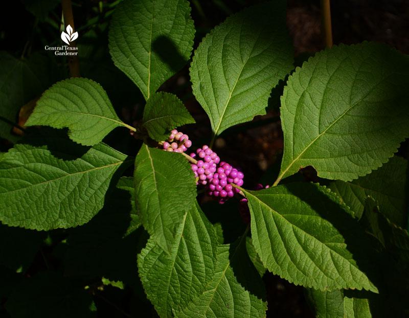 American beautyberry Central Texas Gardener