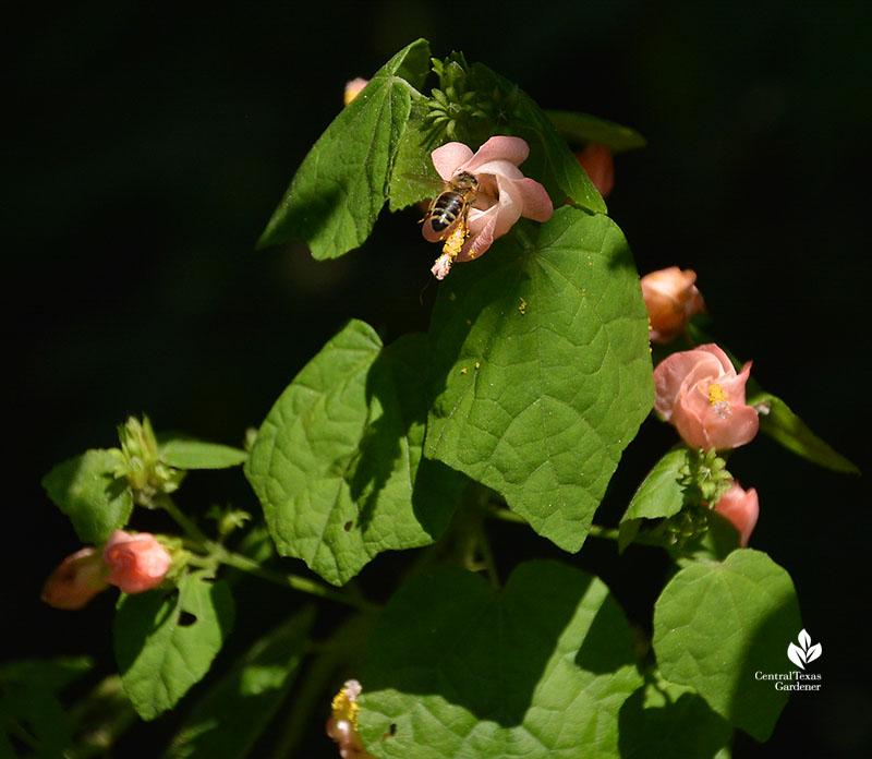 Bee in Pam's Pink turk's cap Central Texas Gardener