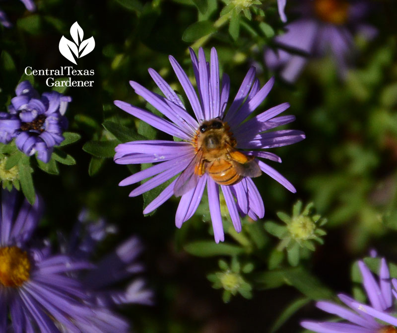 Bee on purple fall aster Central Texas Gardener