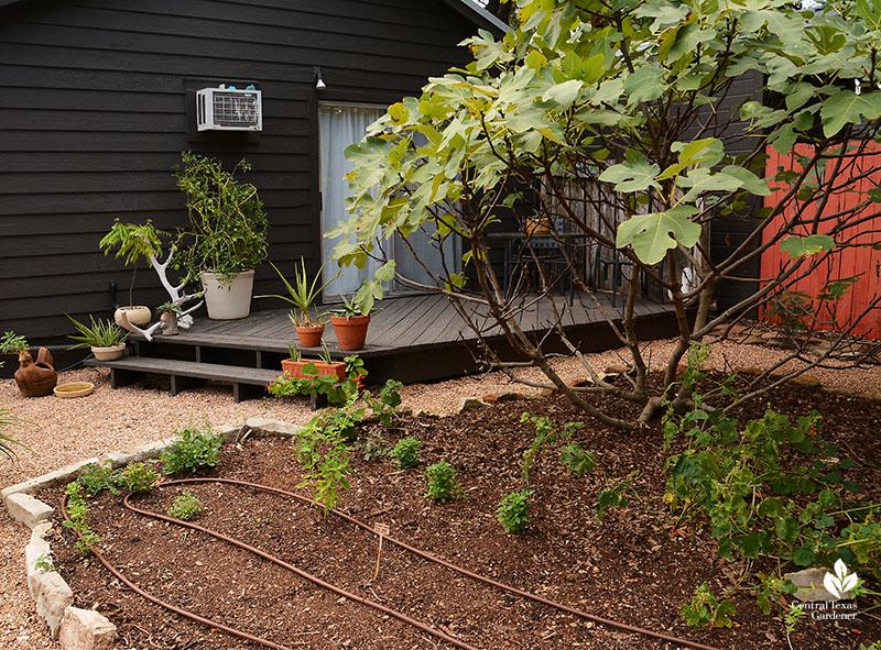 Fig tree drip hose bed Meredith Thomas garden Central Texas Gardener