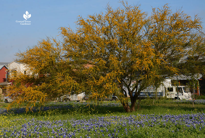 Huisache native tree and bluebonnets Mueller wildflower meadow and food forest Central Texas Gardener