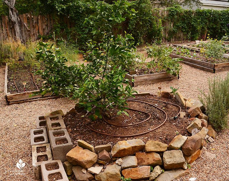 Meyer lemon tree organic garden design Meredith Thomas Central Texas Gardener