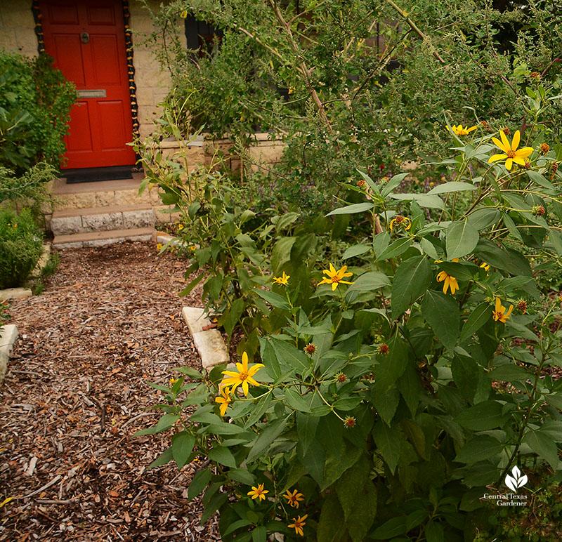 edible sunchoke Jerusalem artichoke Meredith Thomas Central Texas Gardener
