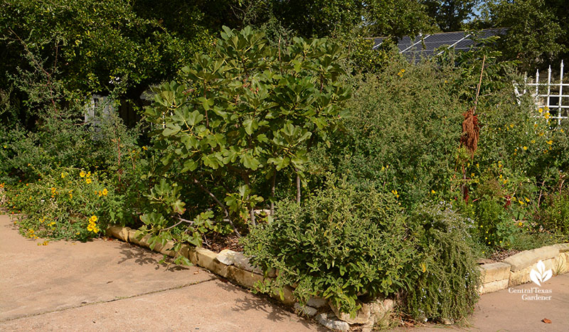 front curb and driveway edible garden Meredith Thomas design Central Texas Gardener