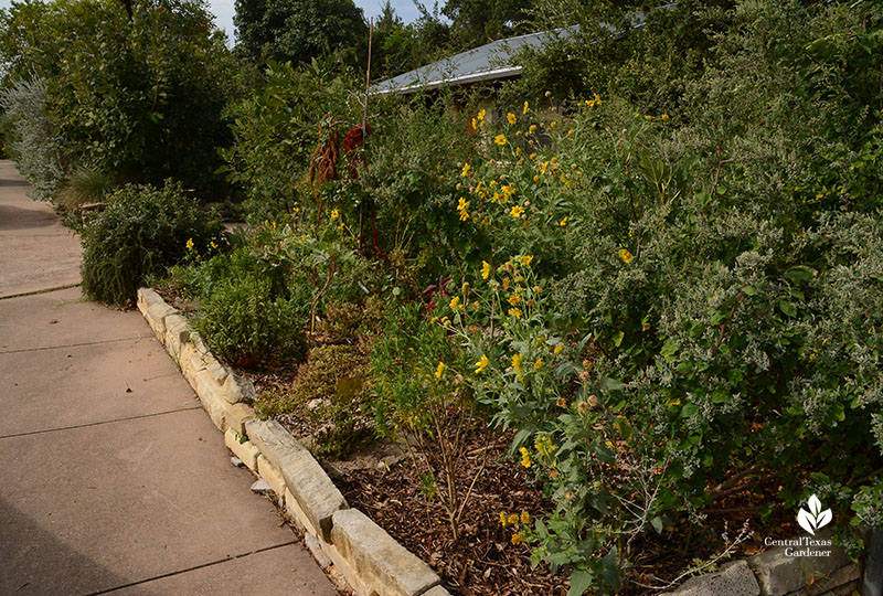 front yard sidewalk and curb edible plants Meredith Thomas design Central Texas Gardener