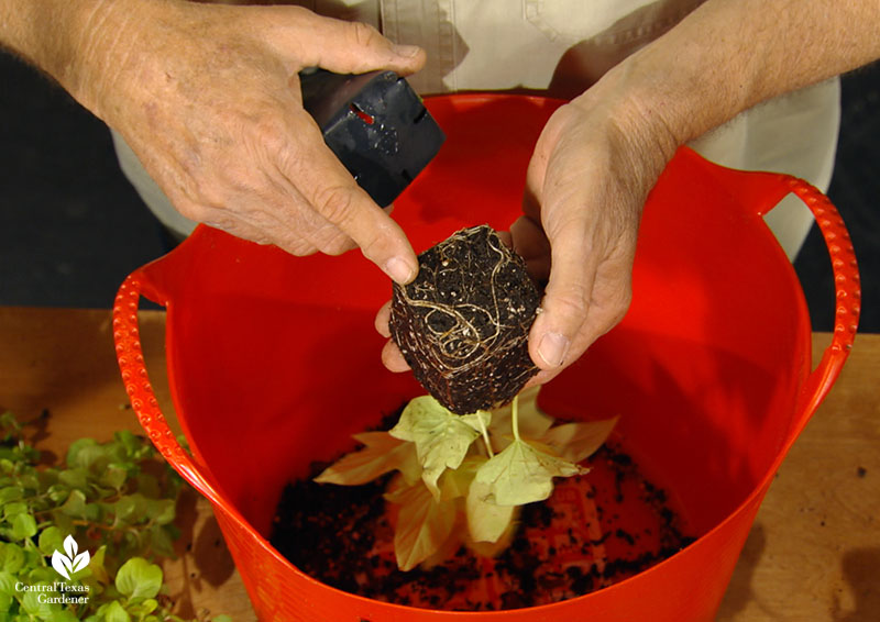 inspect plant roots in nursery pots John Dromgoole Central Texas Gardener