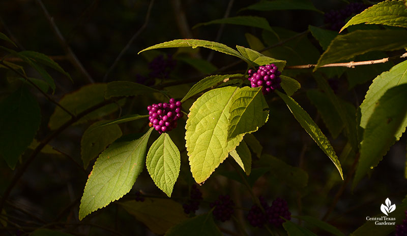 American beautyberry fall purple fruits Central Texas Gardener