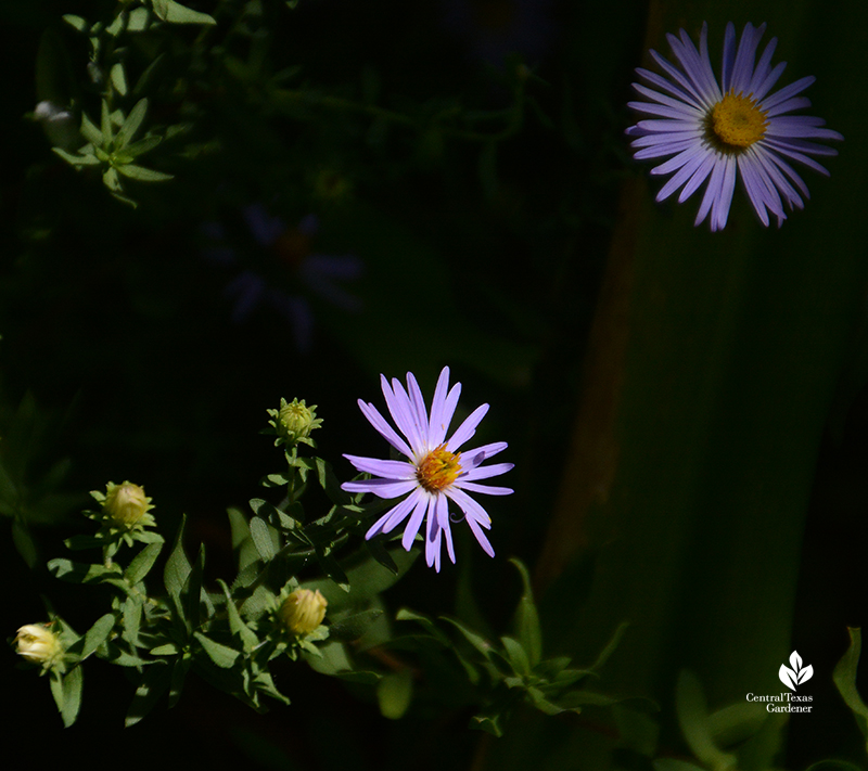 Aromatic aster in dramatic light Central Texas Gardener