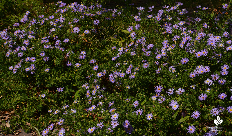 Fall aromatic asters native perennial Central Texas Gardener