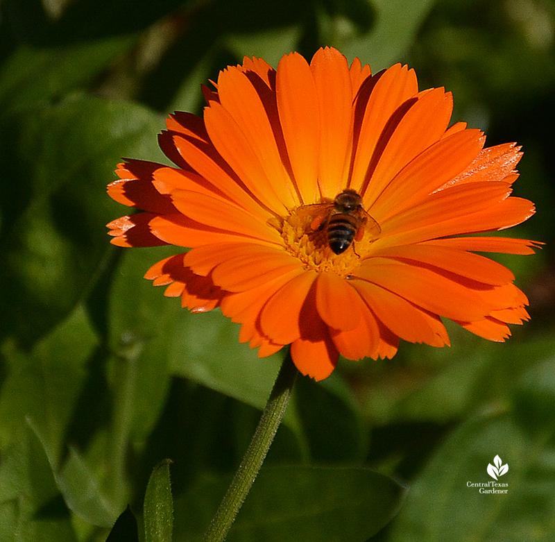 Bee on calendula winter annual Central Texas Gardener