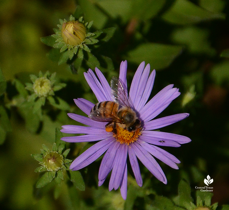Bee on native aromatic aster Central Texas Gardener