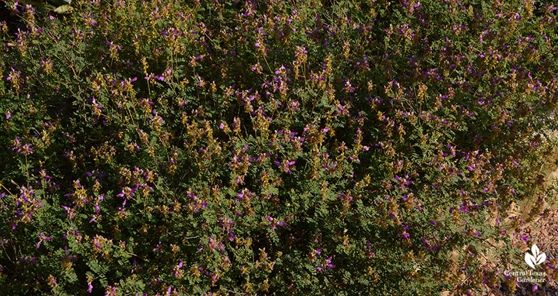 Black dalea native groundcover Wildflower Center Central Texas Gardener