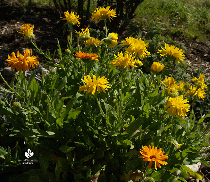 Calendula edible winter annual and bee pollinator plant