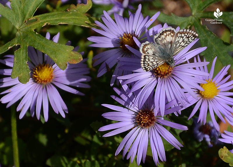 Checkered Skipper butterfly on fall aromatic aster Central Texas Gardener