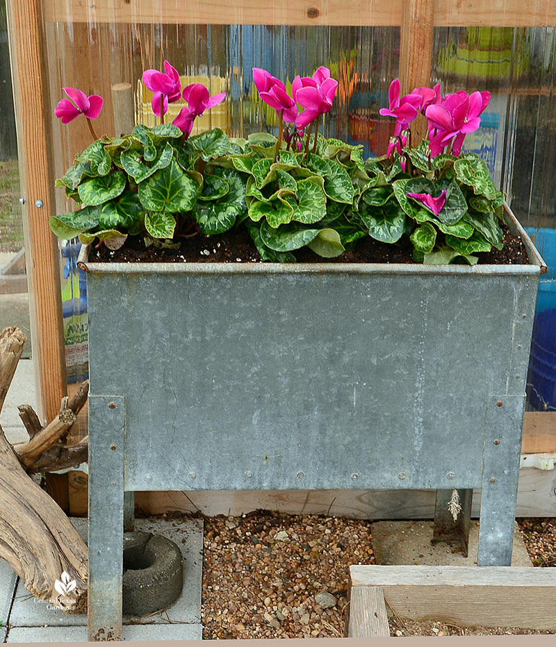 Cyclamen in recycled galvanized wash tub Julie Nelson Kay Angermann garden