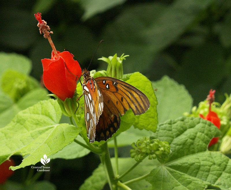 Gulf Fritillary butterfly native plant turk's cap shade garden