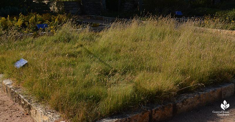 Habiturf native grass lawn demonstration garden Wildflower Center