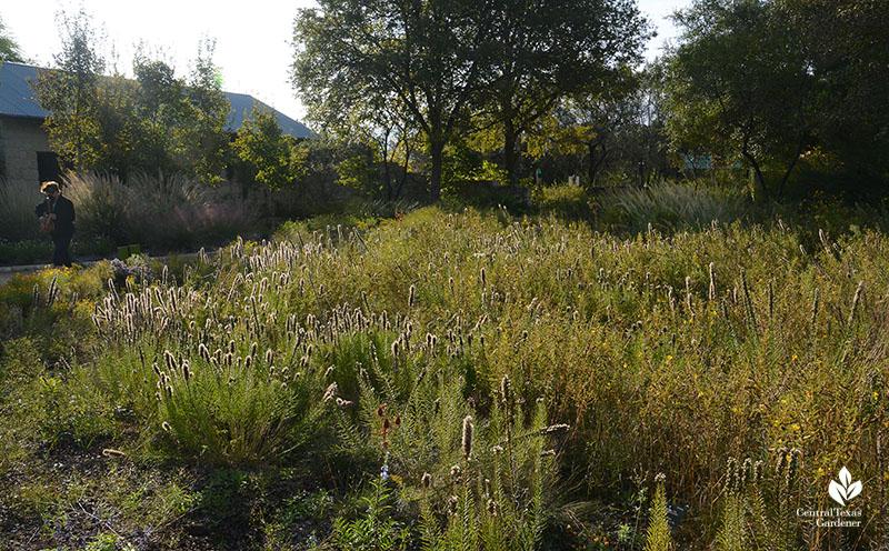 Liatris seed heads in October Wildflower Center demonstration prairie Central Texas Gardener
