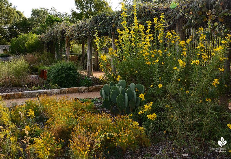 Maximillian sunflower goldenrod prickly pear Fiber & Dye Garden Wildflower Center