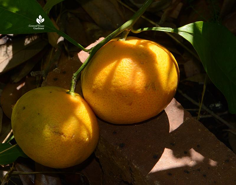 Miho satsuma orange Central Texas Gardener