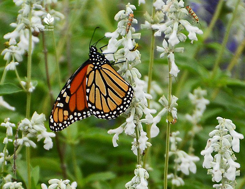Monarch butterfly on Augusta Duelberg salvia Emily Ann Theater Central Texas Gardener