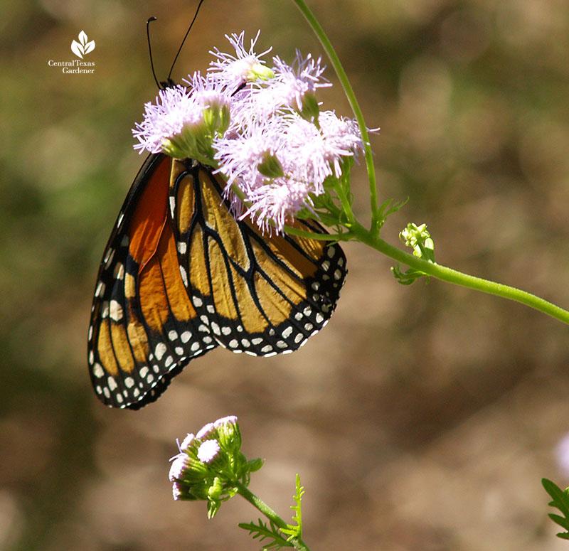Monarch butterfly on Gregg's mistflower blue mistflower native plant
