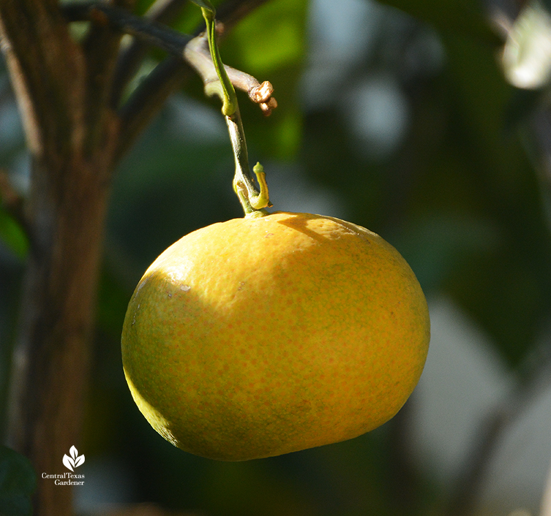 Mr. Mac satsuma orange Central Texas Gardener