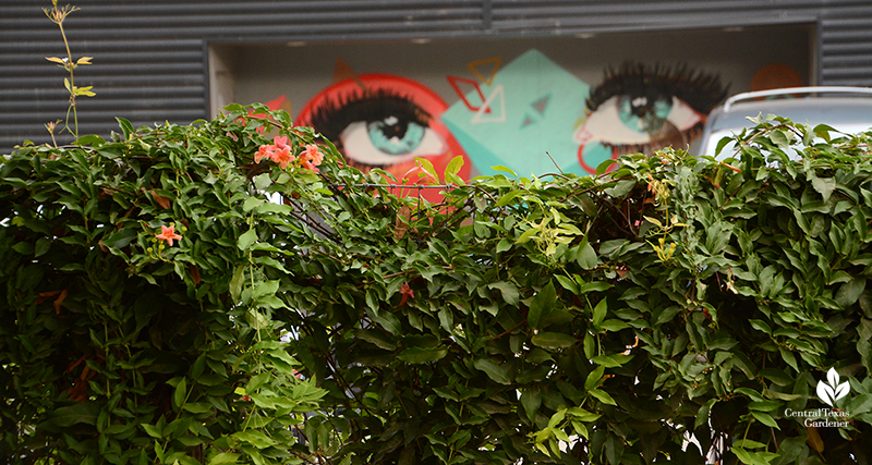 Native crossvine hiding chainlink fence view to eyes mural Cosmic Coffee + Beer Garden