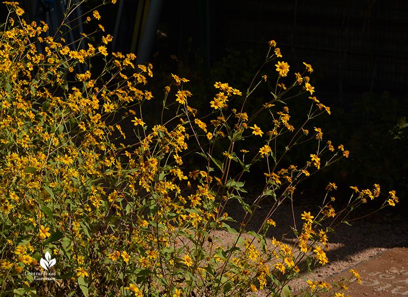 Plateau goldeneye fall flowers Lady Bird Johnson Wildflower Center Central Texas Gardener