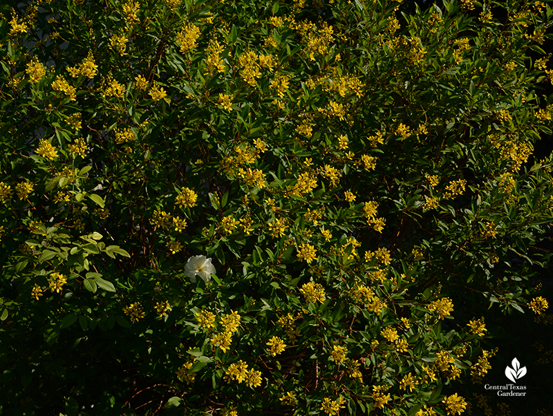 Thryallis accent screening shrub Iceberg rose Central Texas Gardener