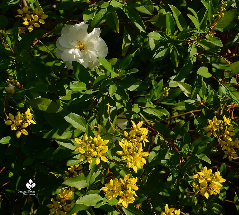 Thryallis and Iceberg rose Central Texas Gardene