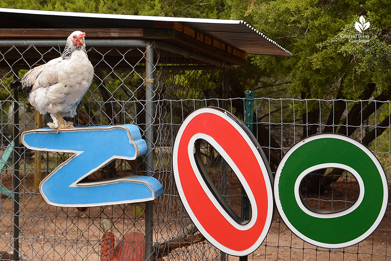 Zoo sign and cute chicken Julie Nelson Kay Angermann chicken coop