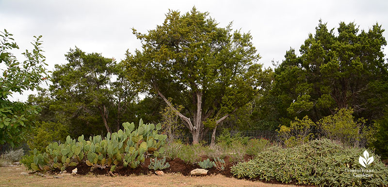 berm for rainwater control with native prickly pear and drought tolerant Jerusalem sage jerusalem sage Julie Nelson and Kay Angermann