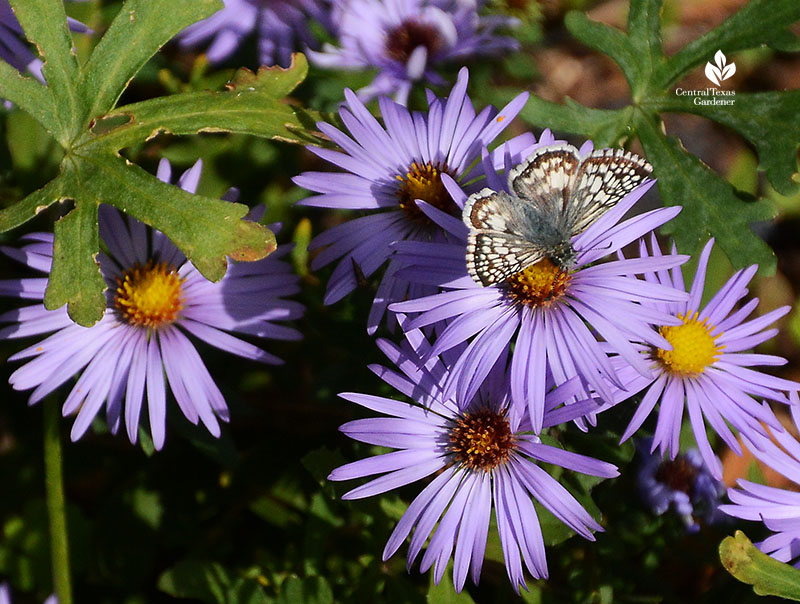 butterfly on fall blooming aromatic aster Central Texas Gardener