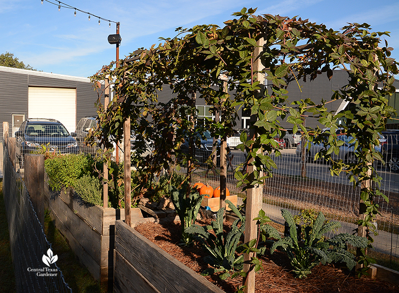 raised vegetable design with blackberry trellis by TaraRose for Cosmic Coffee + Beer Garden