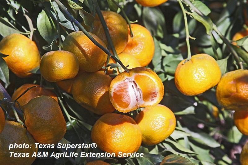 Arctic Frost satsuma photo Texas A&M AgriLife Extension Central Texas Gardener