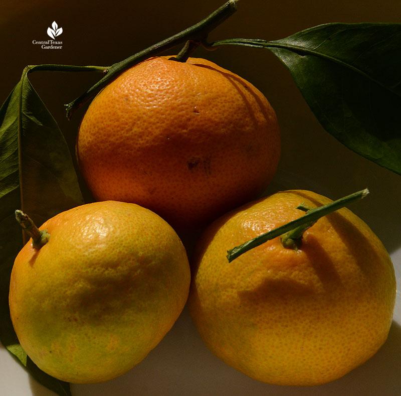 Miho satsuma oranges Central Texas Gardener