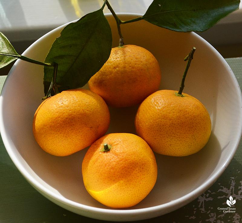 Mr. Mac ripe mandarin satsumas Central Texas Gardener