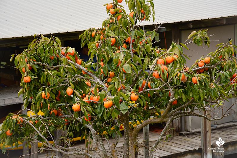 Tanenashi persimmon at Lake Austin Spa Central Texas Gardener