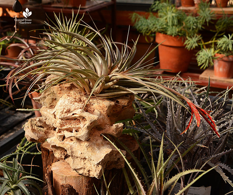 Tillandsia air plant mounted in rock dyckias Dromgoole greenhouse Central Texas Gardener