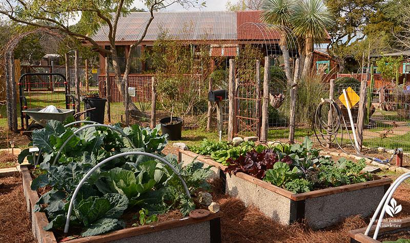 Vegetable garden raised bed organic gardening John and Jane Dromgoole Central Texas Gardener