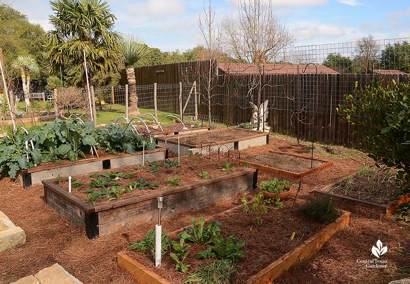 Vegetable garden raised beds espaliered pears Warren cattle panel trellis Dromgoole garden Central Texas Gardener