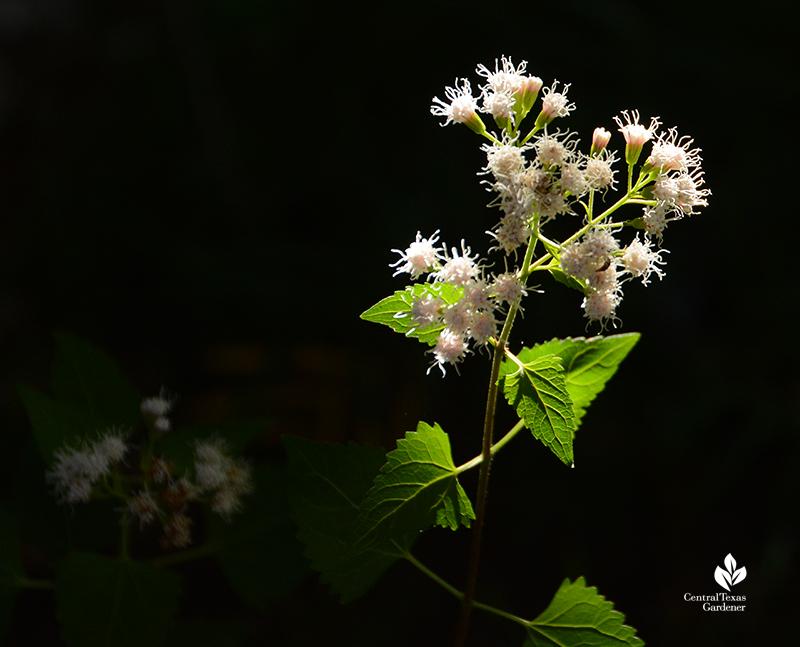 White mistflower shrubby boneset Ageratina havanensis woodland edge Central Texas Gardener